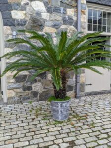 The sago palm is a slow-growing cycad, and it can take up to 100 years for it to achieve its maximum height of 20-plus feet tall. Its slow rate of growth makes the sago palm suitable for use indoors. It thrives in sunny to shady sites and can withstand some drought once established.