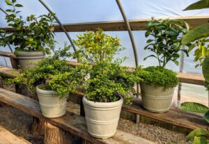 Dwarf citrus trees require at least eight to 12 hours of full sunshine. The pots in front are from my gardening collection. You can find out more from my shop on Amazon.