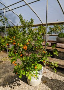 Here is another citrus tree – Calamondin, Citrus mitis, an acid citrus fruit originating in China. The space in this hoop house fills up quickly.