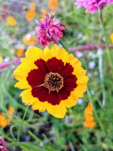 Coreopsis, or tickseed, is an extremely adaptable and easy growing perennial flower. Coreopsis is a genus of flowering plants in the family Asteraceae. It develops mass quantities of yellow, orange, rose, lavender, white, or bi-colored blooms.