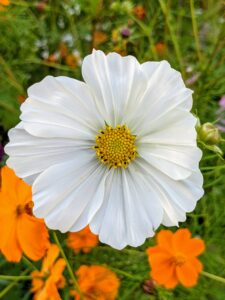 This cosmo produces luscious white petals with a deep yellow center. Cosmos are vigorous, versatile and resilient wildflowers that are adaptable to both sun and partial shade.