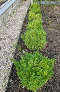 This bed is also planted with a row of boxwood at the front. The boxwood was nurtured from small seedlings right here on my farm.
