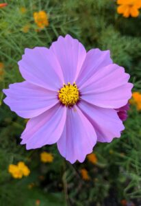 And another cosmo in beautiful lavender.