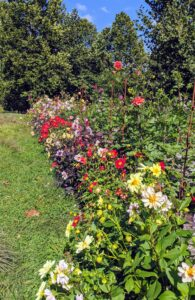 Yesterday, this garden was filled with colorful blooms. I have already cut many flowers to decorate my home, but there are still so many to enjoy.
