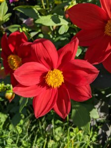 There are about 42 species of dahlia, with hybrids commonly grown as garden plants. A member of the Asteraceae family of dicotyledonous plants, some of its relatives include the sunflower, daisy, chrysanthemum, and zinnia.