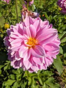 Dahlias were first recorded by Westerners in 1615, and were then called by their original Mexican name acoctli.