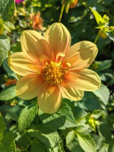 This dahlia has one row of slightly cupped petals, and an inner set of petaloids that when fully mature form a collar around the disc.