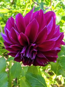 From the side, many dahlia petals grow all around the flower head giving it a very full appearance.