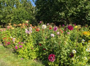 And when cutting, to prevent wilting, cut only in the early morning or late afternoon. And only cut them after they open to mature size – dahlias will not open after cutting. Enjoy your dahlias!