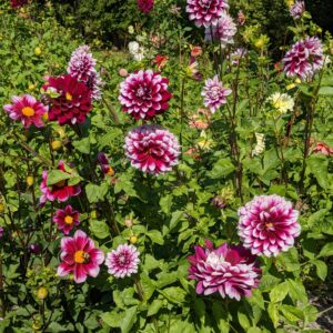 When planting dahlias, choose the location carefully - dahlias grow more blooms where they can have six to eight hours of direct sunlight.
