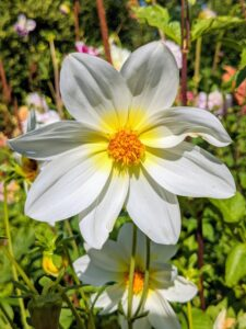 This is a single with just one row of petals surrounding the center disc. Dahlias originated as wildflowers in the high mountain regions of Mexico and Guatemala – that's why they naturally work well and bloom happily in cooler temperatures.