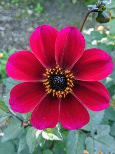Dahlias come in almost every color except true blue. This one is a deep red with a dark yellow and black center.
