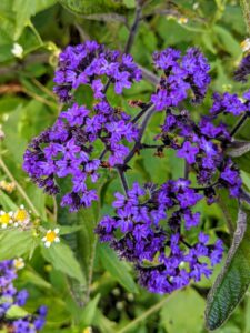 Heliotrope flowers are long bloomers that open in summer and last through the first frost. It is a plant of the borage family, cultivated for its fragrant purple or blue flowers, which are used in perfumes.
