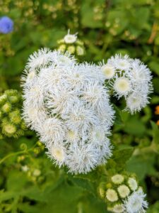 Here is a white Ageratum. Often called Floss Flower, this compact plant can be easily grown from seeds. Ageratum plants are vigorous, free-flowering, fully branched and mounded.