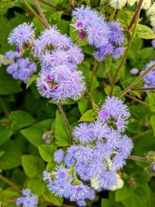 Ageratum houstonianum, a native of Mexico, is among the most commonly planted ageratum variety. Ageratums have soft, round, fluffy flowers in various shades of blue, pink or white – with blue being most common.