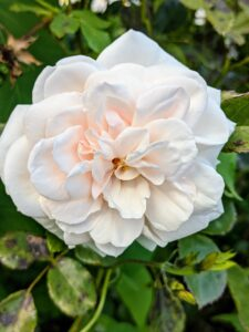 A few of the roes in my flower garden are still going strong. Hard to resist the delicate beauty of a rose.