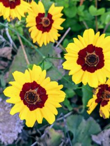 In my flower garden, Coreopsis, or tickseed, is an extremely adaptable and easy growing perennial. Coreopsis is a genus of flowering plants in the family Asteraceae. It develops mass quantities of yellow, orange, rose, lavender, white, or bi-colored blooms. Coreopsis is sun-loving, drought-tolerant and highly attractive to hungry butterflies.