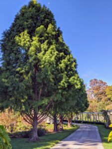 The Stewartia garden is bordered on one side by a stand of distinguished bald cypress trees, Taxodium distichum.