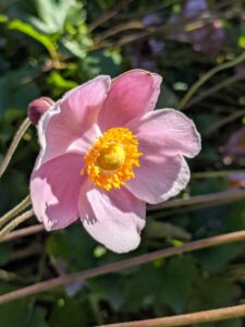 Growing just outside my flower garden are these charming anemones. Also known as Japanese thimbleweed, Japanese anemone, Anemone hupehensis, is a tall, stately perennial that produces saucer-shaped flowers in shades of creamy pink to pure white, each with a green button in the center. Look for blooms to appear throughout summer and fall, often until the first frost.