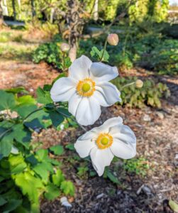 Here are some white anemones blooming in my Stewartia garden across from my long clematis pergola. Although Japanese anemone plants tolerate full sunlight, they appreciate a lightly shaded area where they are protected from intense afternoon heat and sun.