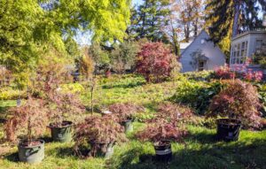 This is my Tenant House garden. In spring, the area is filled with daffodils. During summer and early fall – beautiful shade-loving specimens. We've already planted quite a few Japanese maples in this area. With more than a thousand varieties and cultivars, the iconic Japanese maple tree is among the most versatile small trees for use in the landscape. They look so pretty with all the green foliage surrounding them. The trees are ready to be placed in the bed.