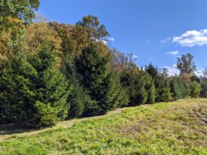 11 years ago, I planted a field of small Christmas trees in a far corner of the farm near my enormous compost piles. 640 Christmas trees to be exact. Over time, the trees have done exceptionally well, but the land next to them needed some care.