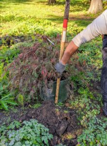 Using the pole of the shovel, Domi estimates how deep the hole should be. He needs to dig the hole a bit deeper. A good rule of thumb is to plant it to the same height as it was in the pot. Japanese maples prefer dappled sun or part shade.