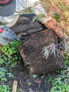 Using the closed tip of his pruners, Domi scarifies the roots.