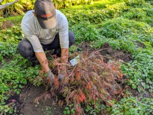 Next, the tree is placed in the hole. And then Domi backfills the root ball. After putting a new tree into the ground, be sure to keep it slightly moist for the first year as it takes root.