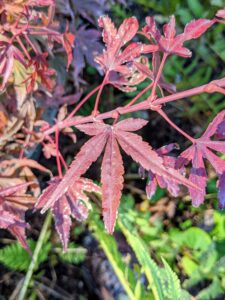 'Shaina' is a handsome dwarf Japanese maple with a compact form. The freely branching growth becomes dense with maturity, and its foliage emerges bright red and matures to a deep maroon.