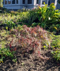 Among those planted are three varieties of Japanese maple - Acer palmatum var. dissectum 'Crimson Queen', Acer palmatum 'Shaina', and Acer palmatum var. dissectum 'Red Dragon'.