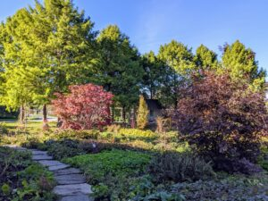 If you follow this blog regularly, you may recall, we planted these two larger Japanese maples in January of last year, as well as some other plants last autumn. This garden, which is located between the Tenant House and my Stewartia garden, is constantly evolving.