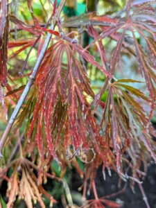 'Crimson Queen' is a low-branching, dwarf tree with a delicate, weeping form. The foliage holds its beautiful crimson color throughout summer and turns scarlet in autumn. This deciduous, sun-tolerant tree does well in cooler regions, where light intensifies the foliage shades.