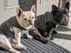 Creme Brulee and Bete Noire are my two French Bulldogs. Here they are in the courtyard behind my kitchen. This breed is known for its wrinkly, smushed face and bat-like ears.