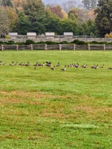 One morning, we stepped outside and saw this flock of wild geese. We wanted to capture a video of them in flight, but they seemed too content to leave. Do you know... a group of geese on land is called a gaggle, but in flight it becomes a skein, team or wedge of geese.