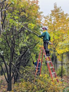 Chhiring begins by removing any dead or damaged branches, and then carefully cuts the tallest branches in sections. He takes into account the shape of the tree in comparison to the others - all the trees should be about the same height when complete.