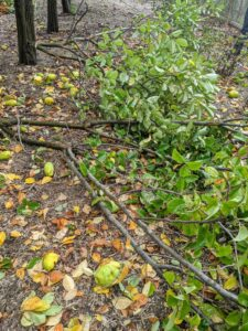 For larger tree branches Chhiring makes two cuts to safely remove the limb without stripping any bark. The first cut should be about a third to halfway down the branch. Cutting in sections prevents splitting and allows the large portion of the branch to fall and not tear into or damage the tree.