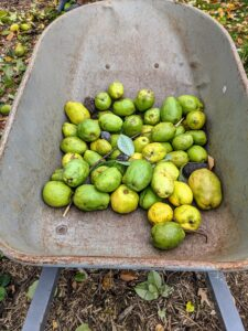 The fruits of the Chinese quince are larger, but with a smoother appearance.