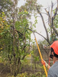 From the ground, Pasang uses a telescoping pole saw. This tool is lightweight and has a very sharp blade for making smooth cuts. It is ideal for pruning high branches that are not too thick.