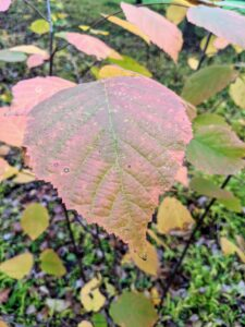 Here's the changing leaf color of an American filbert, Corylus americana. The filbert, or American hazelnut, is an easy-to-grow native shrub that produces edible nuts in late summer. It is hardy and able to thrive in a wide range of conditions. It is a good choice for planting as a hedgerow or windbreak. Its deep green leaves turn copper and yellow in autumn.