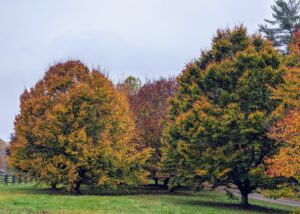 This is my grove of American beech trees, Fagus grandifolia. These American beech trees offer a beautiful autumn show every year. American beech is native to the eastern United States and Canada. It is a deciduous tree with smooth gray bark.