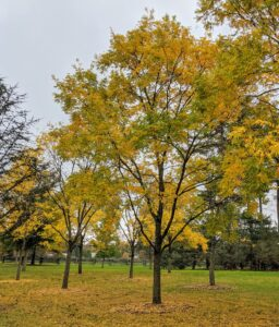 The honey locust, Gleditsia triacanthos, also known as the thorny locust or thorny honeylocust, is a deciduous tree in the family Fabaceae, native to central North America where it is mostly found in the moist soil of river valleys. The leaves are yellow in fall before dropping, and among the last to emerge again in spring.