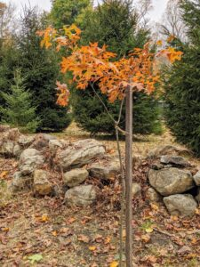 This young pin oak tree is one of 104 in a newly planted allee along the carriage road just past my Christmas tree field heading toward what I call my Contemporary House. Its leaves have already changed colors.