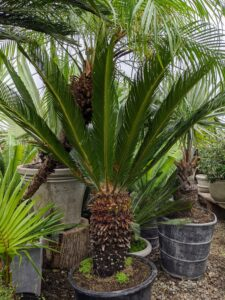 Here's a large sago. The sago palm, Cycas revoluta, supports a crown of shiny, dark green leaves on a thick shaggy trunk that is typically about seven to eight inches in diameter when mature, sometimes wider.