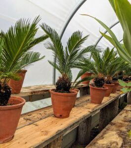 I also keep a group of sago palms, Cycas revoluta, in this enclosure. They are popular houseplants with pretty foliage, but keep them away from pets and young children, as they are also very toxic if ingested.