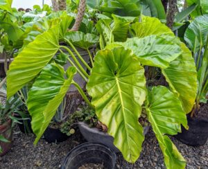 Philodendrons are easy to grow just about anywhere, but they love medium or bright-light spots best. Philodendron is a genus of herbaceous evergreen tropical plants which belongs to the aroid family Araceae. The leaves are usually large and imposing, often lobed or deeply cut, and may be more or less pinnate.