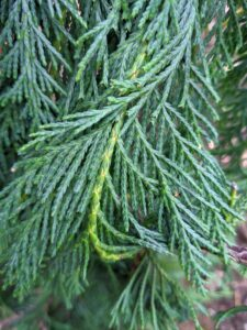 The texture of the flat-needled boughs is soft and wispy. With a blue-green cast, this tree is also sometimes called the weeping blue Alaskan cedar.