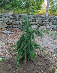 Once it is placed into the hole, it is turned, so the best side faces the carriage road, and then backfilled. After putting a new tree into the ground, be sure to keep it slightly moist for its first year as it takes root.