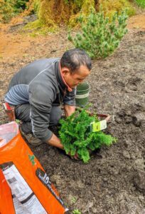 Here, Domi is planting a Slender Hinoki False Cypress, Chamaecyparis obtusa 'Gracilis'. This is an open-branched, pyramidal form with gracefully arching branchlets. It has tiny, deep green needles. The reddish new growth has a soft, ferny appearance that turns bronze in winter.