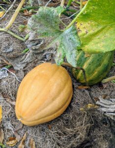 Always choose winter squash that is rich and deep in color. The skin should be dull and matte. Shiny skin on squash may indicate it still needs time to mature.